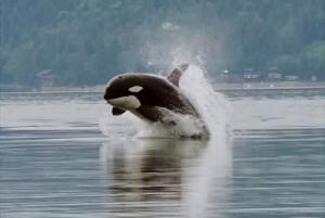 Orca_porpoising