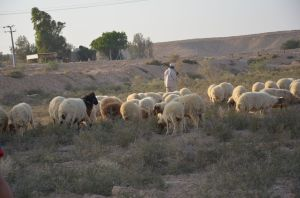 Shepherd_and_sheep