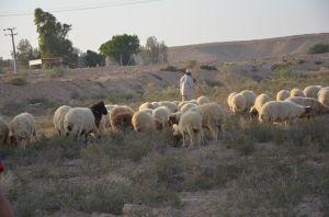 Shepherd_and_sheep