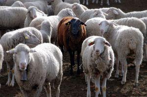 1024px-Black_sheep-1
