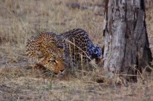 Leopard_stalking_Botswana